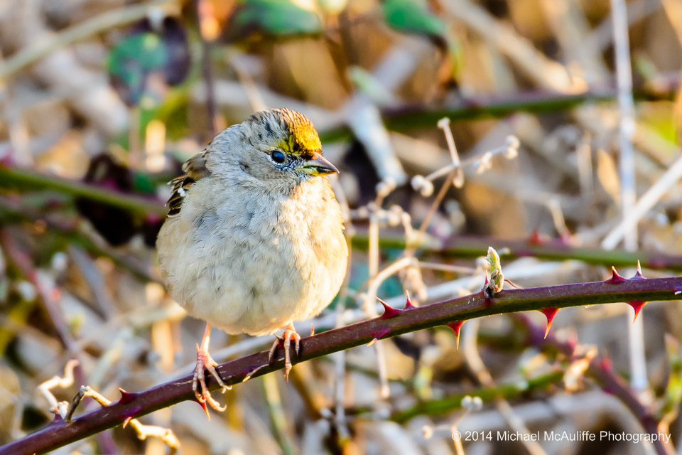 A Golden-crowned Sparrow at the Edmonds Marsh