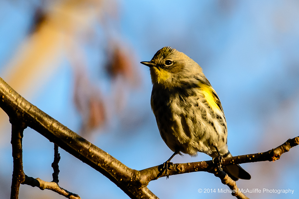 A Yellow-rumped Warbler at the Edmonds Marsh