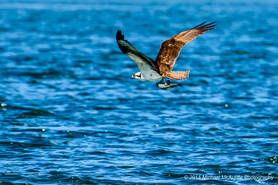 An Osprey with a fish that it just caught in Wapato Lake