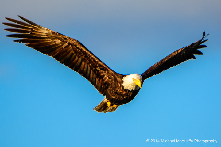 Eagle over Edmonds