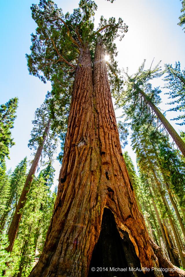 Giant Sequoia at Mariposa Grove in Yosemite