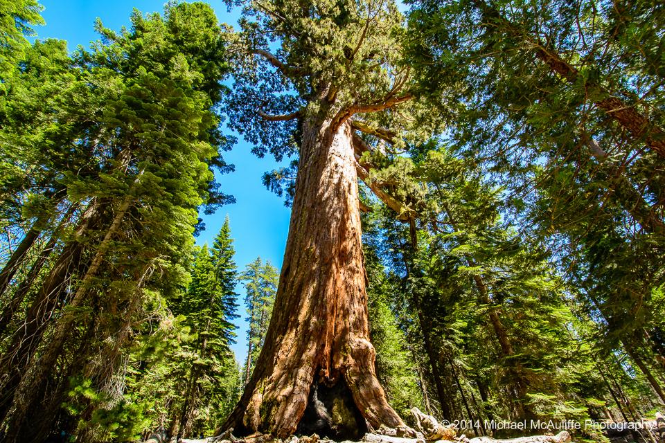 Mariposa Grove Giant Sequoia
