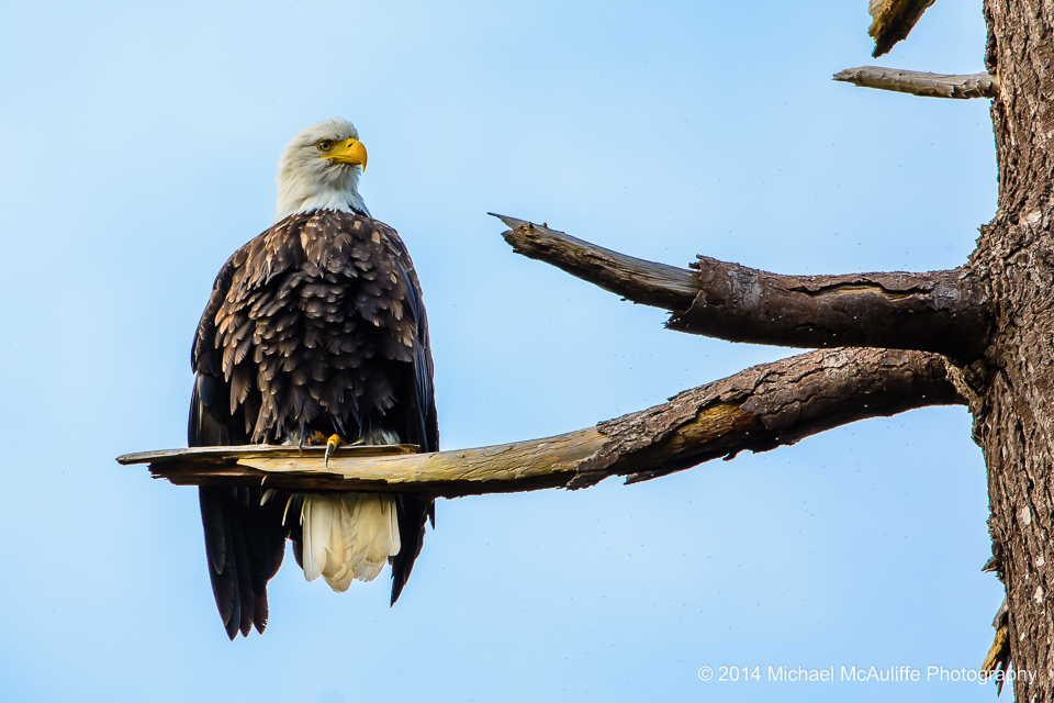 A bald eagle in a tree at the Edmonds marsh.