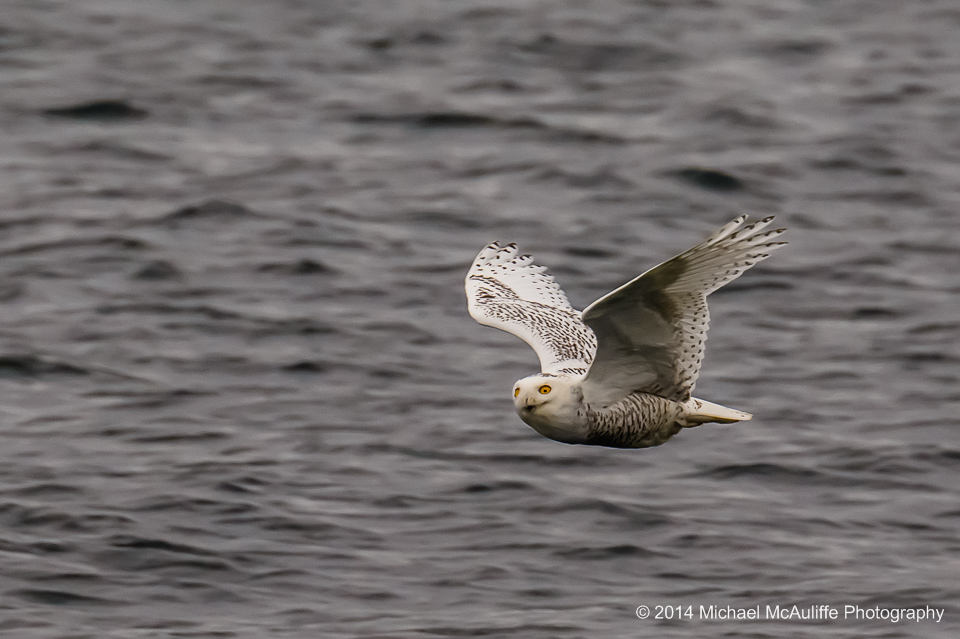 A Snowy Owl in flight over the Puget Sound.  Photo taken from the fishing pier in Edmonds, Washington.