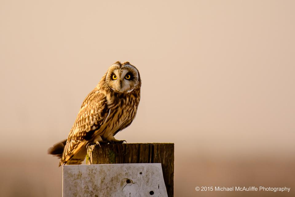 A short-eared owl on a post near Stanwood, Washington.