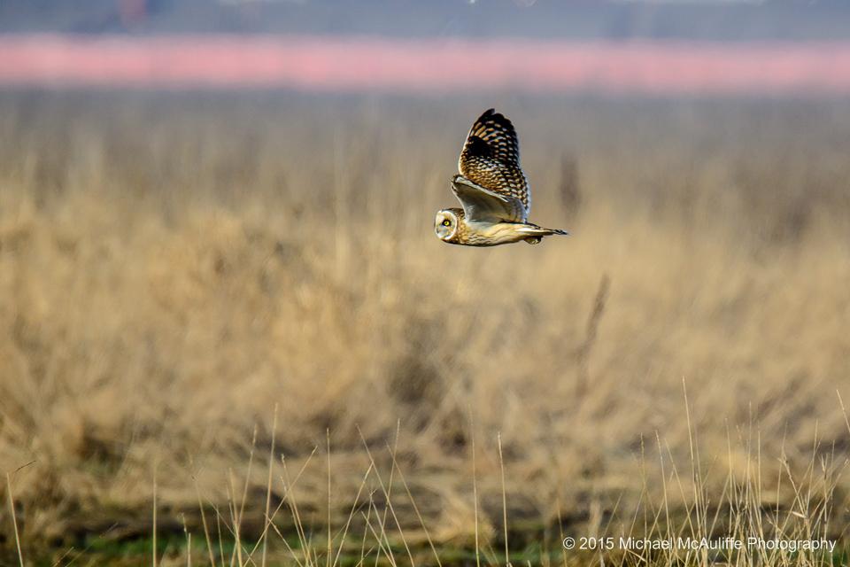 Short-eared Owl in Flight at Eide Road near Stanwood, Washington.