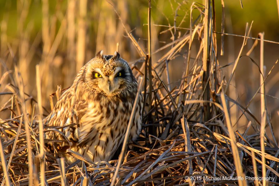 A Camouflaged Short-eared Owl near Stanwood, Washington.