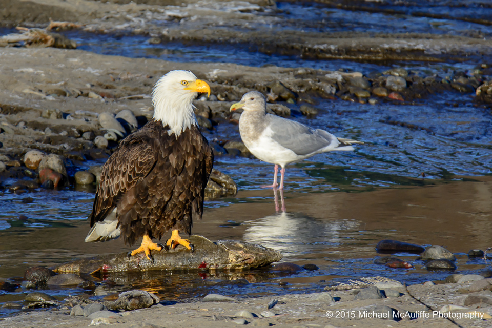 A Bald Eagle standing on a salmon on the Nooksack River in northwest Washington state.