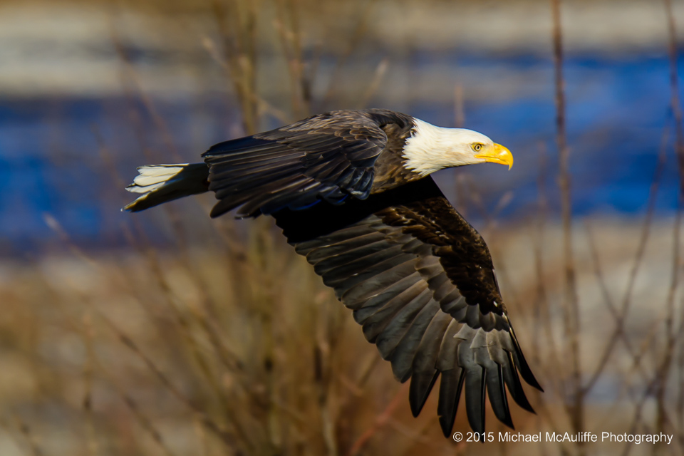 A Bald Eagle in flight over the Nooksack River in northwest Washington state.