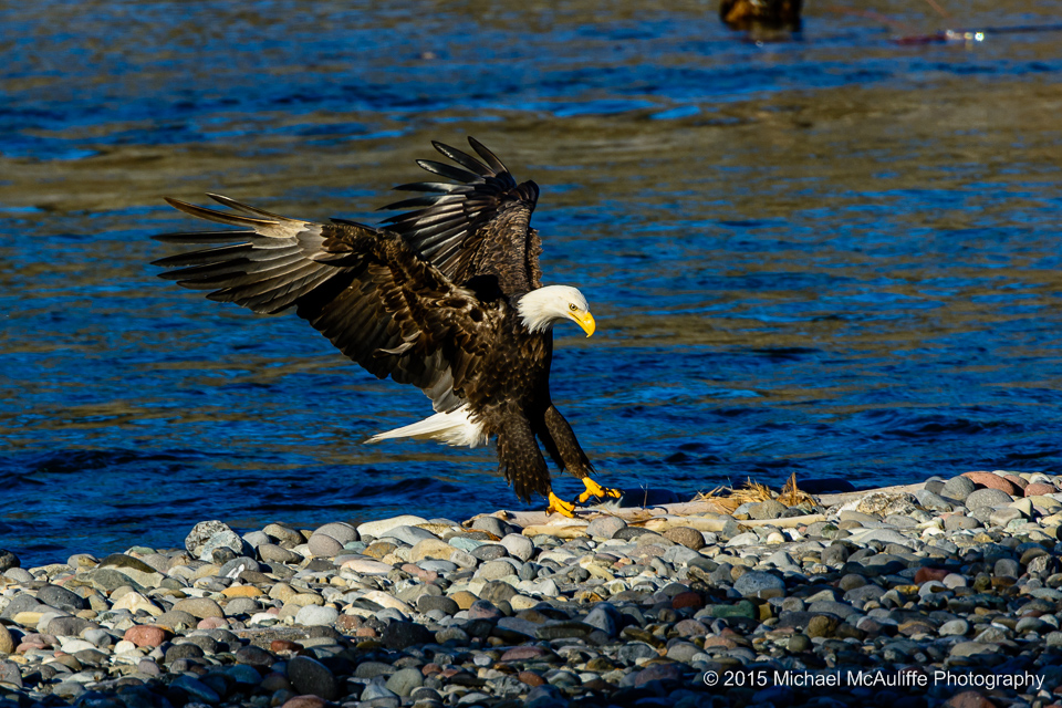 A Bald Eagle lands on the bank of the Nooksack river near Demming, Washington.