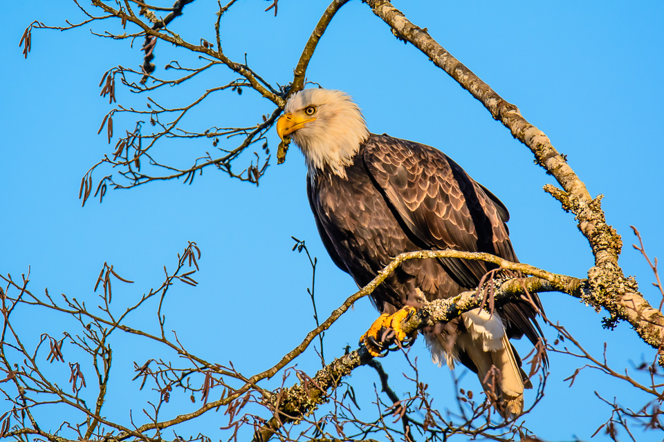 A Bald Eagle in a tree on the Nooksack River near Deming, Washington.
