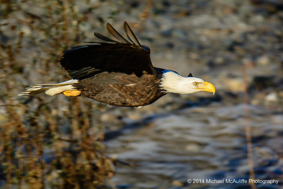 A Bald Eagle on the Nooksack River near Deming, Washington.
