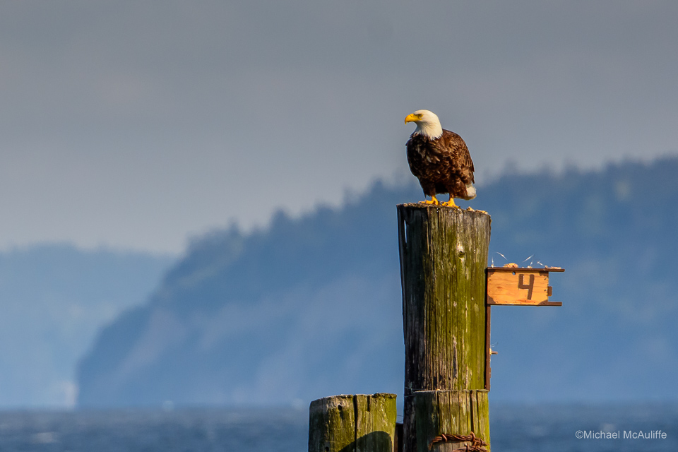 A Bald Eagle on the waterfront in Edmonds, Washington.