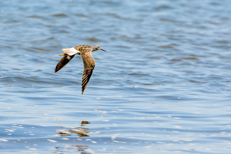 A Greater Yellowlegs at Leadbetter Point on the Long Beach Peninsula