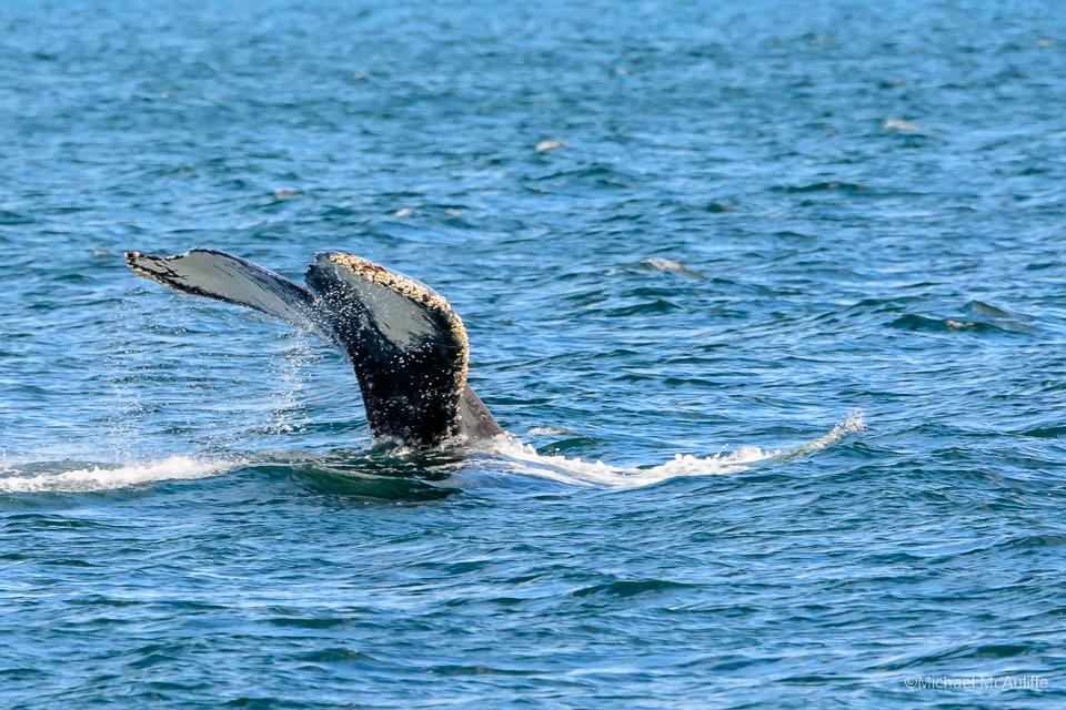 A Humpback Whale near the San Juan Islands in Washington State.