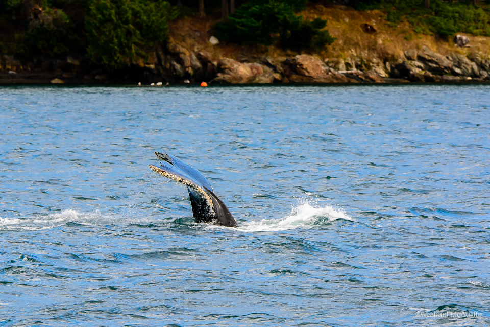 A Humpback whale in the waters of the San Juan Islands in Washington State.