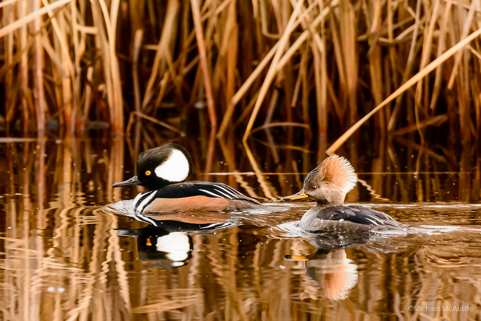 Hooded Mergansers at Lake Ballinger in Mountlake Terrace, Washington