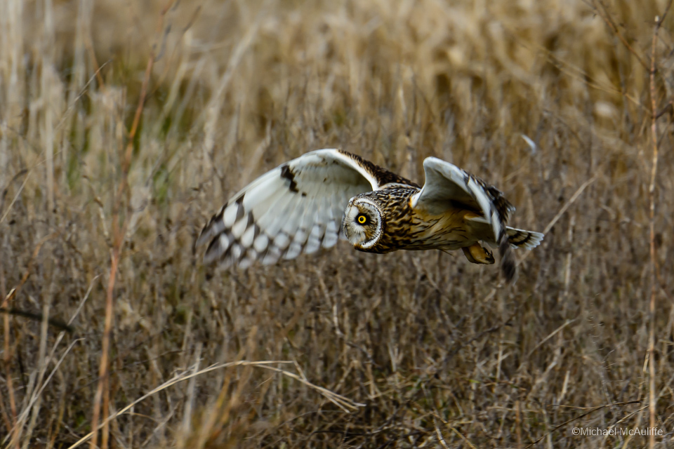 Stanwood Short-eared Owls