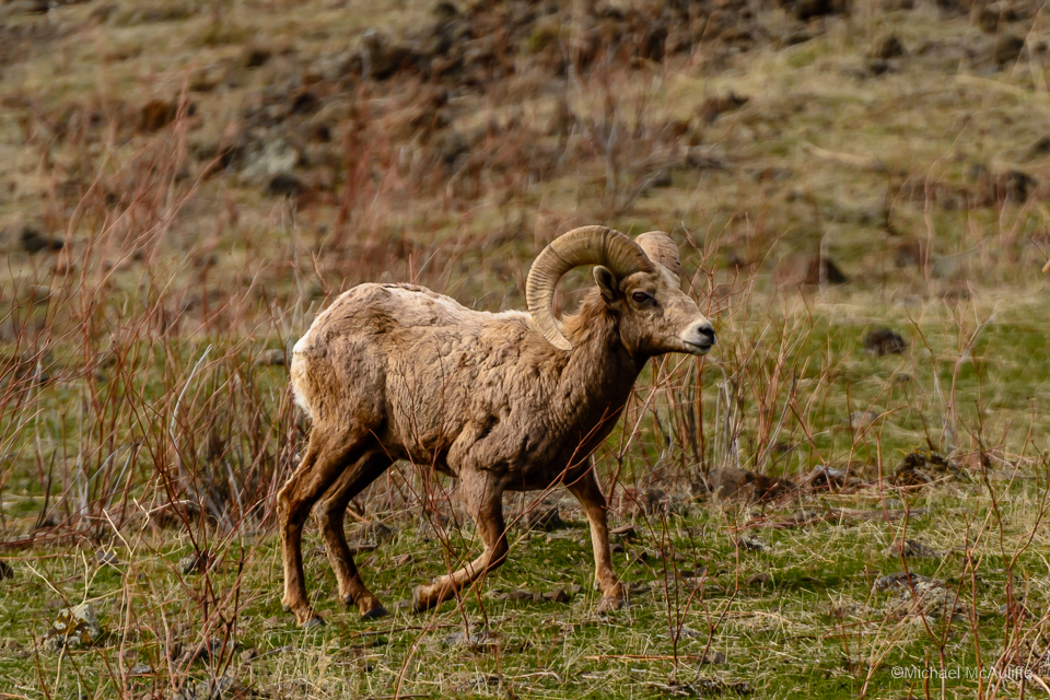 Bighorn Sheep at Oak Creek Wildlife Area