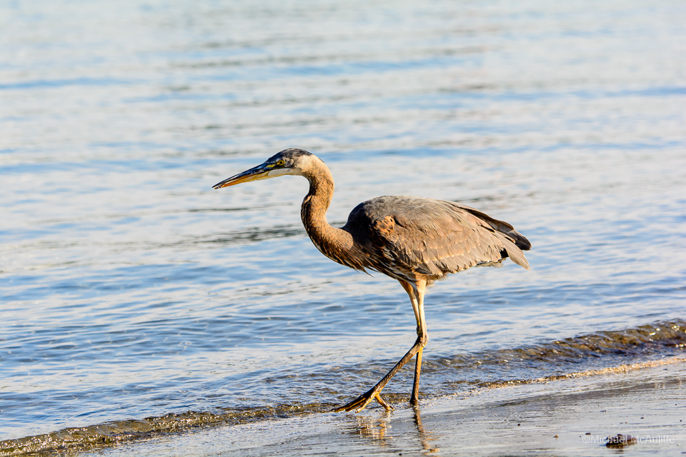 A Great Blue Heron on the waterfront in Edmonds, Washington.