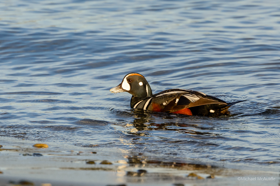 Harlequin Duck on the waterfront in Edmonds, WA.