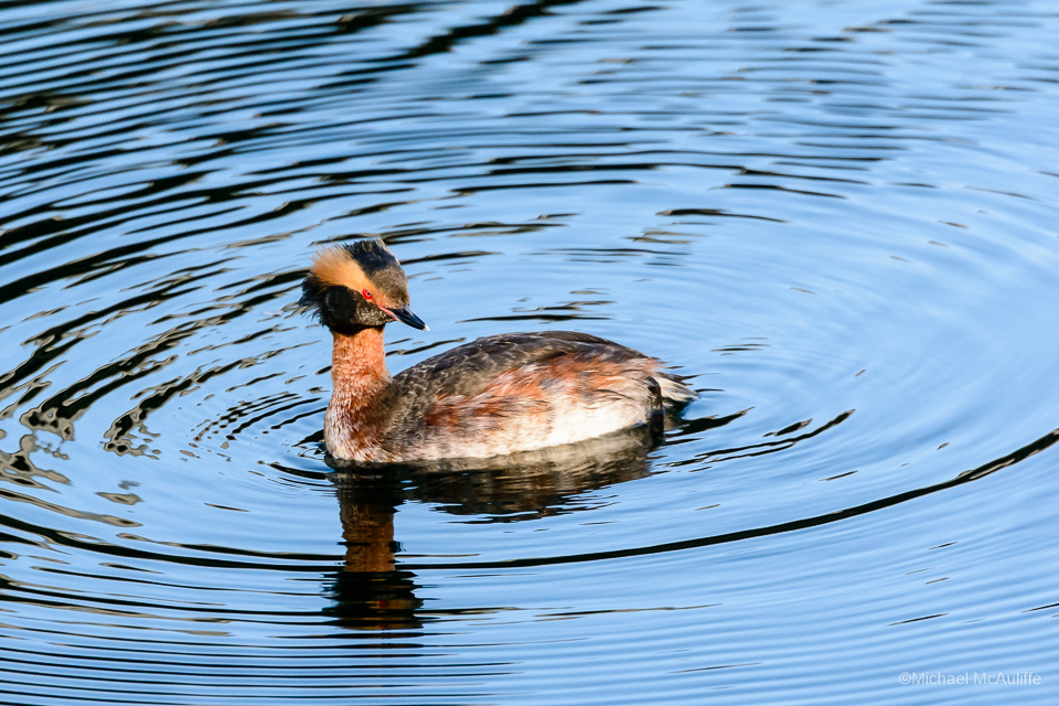 A Horned Grebe on the waterfront in Edmonds, Washington.