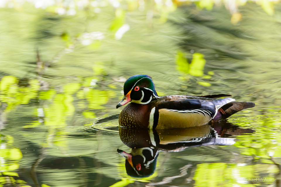 A Wood Duck at Pine Ridge Park in Edmonds, Washington.