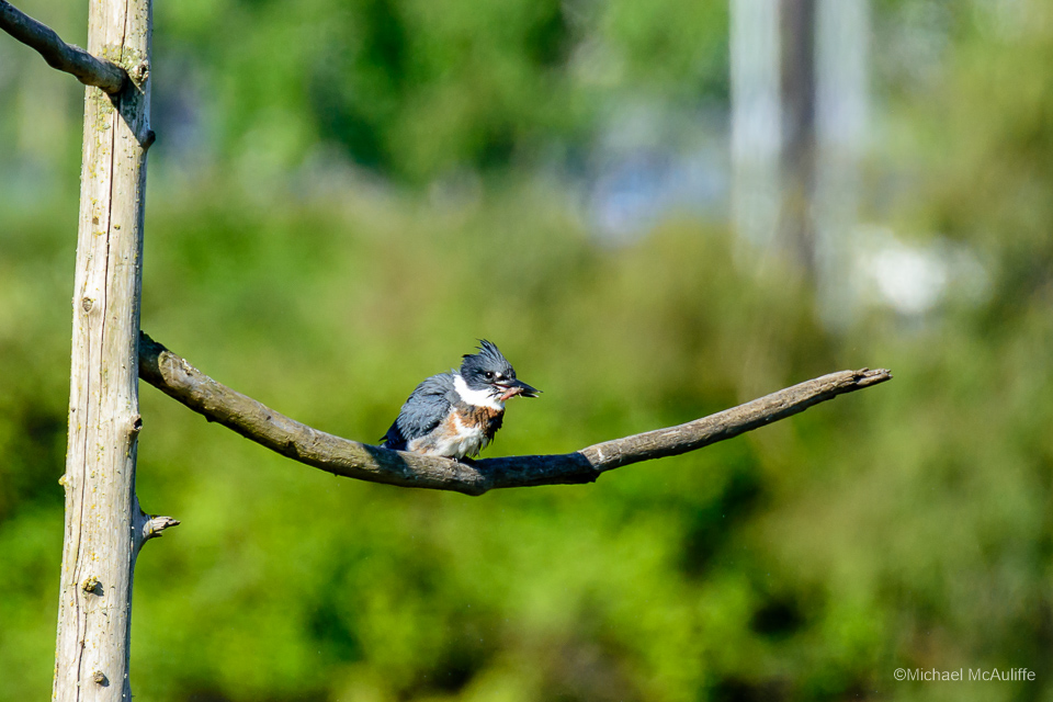 A Belted Kingfisher at the Edmonds marsh.
