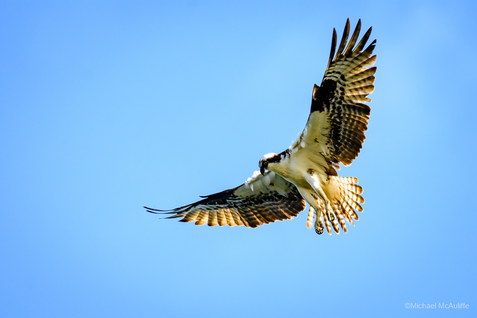 An Osprey on the waterfront in Edmonds, WA.