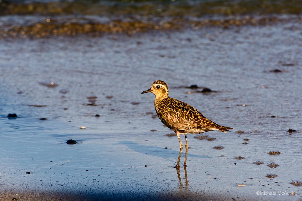 Shorebirds of Hawaii's Big Island