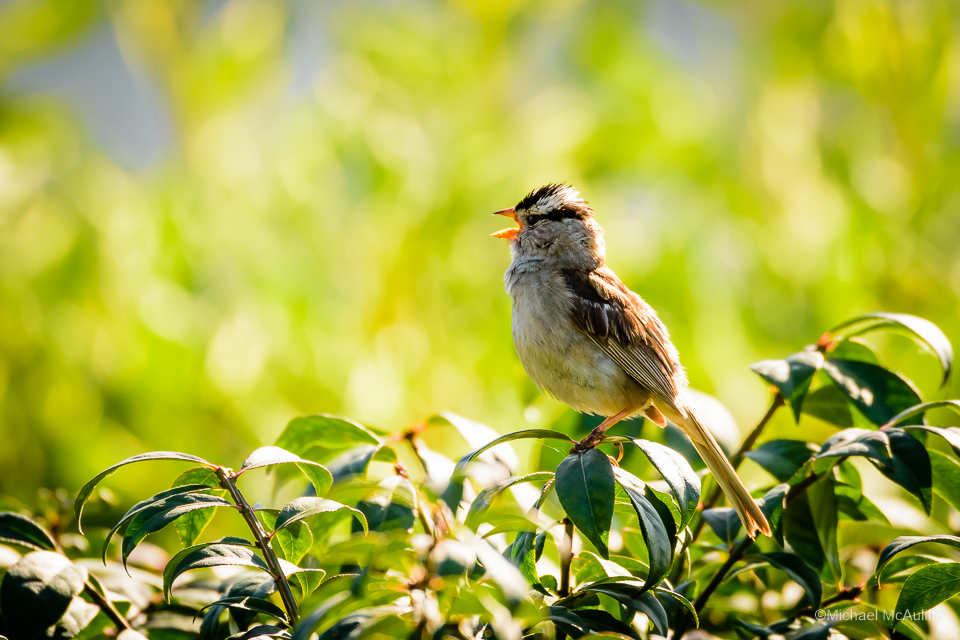 A White-crowned Sparrow at the Edmonds Marsh.