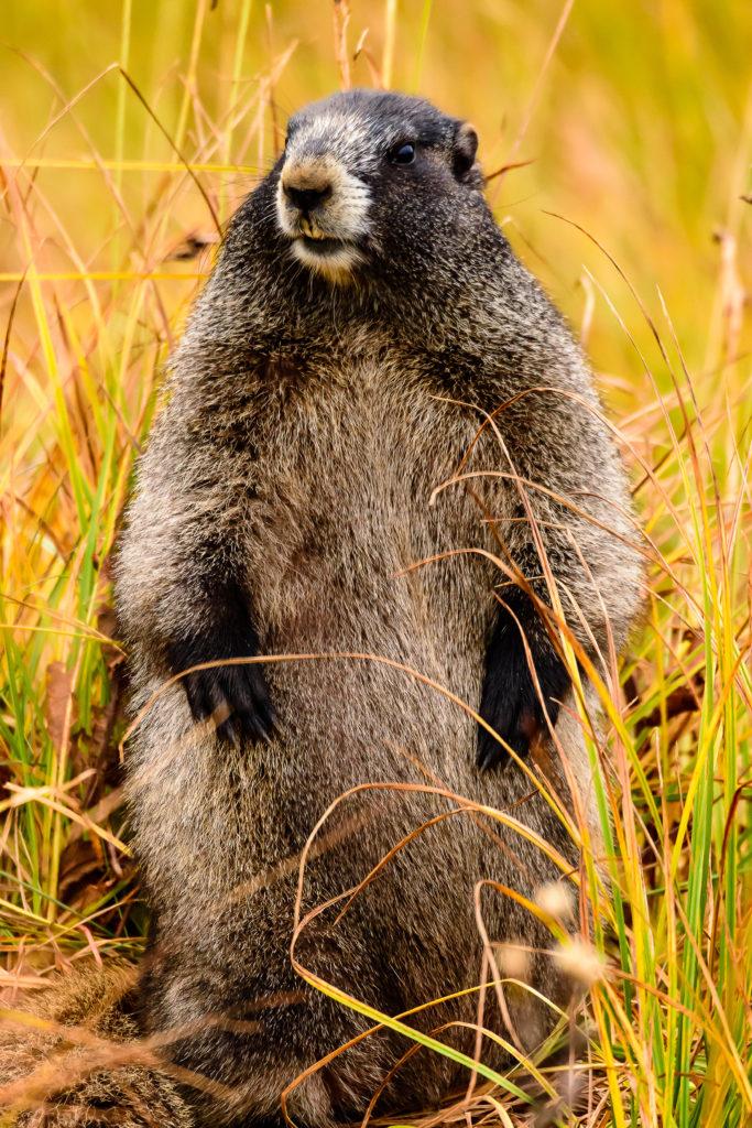 Hoary Marmot at Paradise Area on Mount Rainier