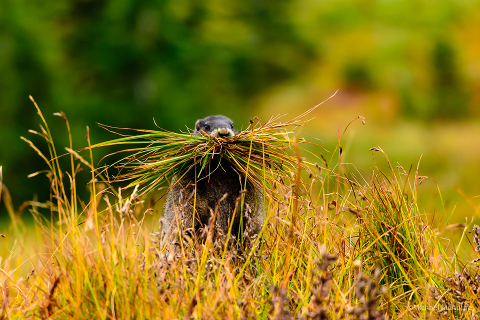A Hoary Marmot Brings Grass To Its Burrow