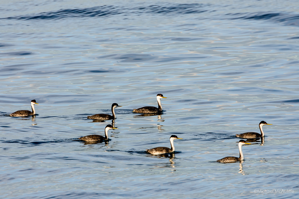 Western Grebes on the waterfront in Edmonds, Washington.