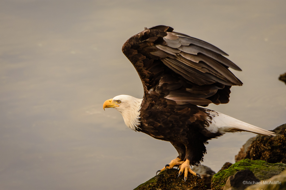 A Bald Eagle on the waterfront in Edmonds, Washington