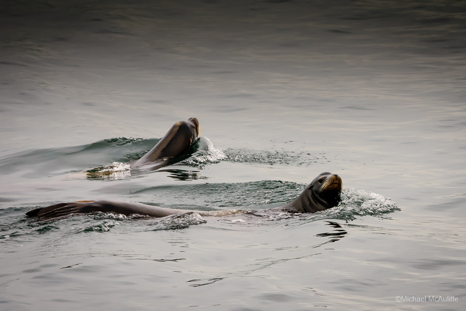 A pair of Sea Lions on the waterfront in Edmonds, Washington.