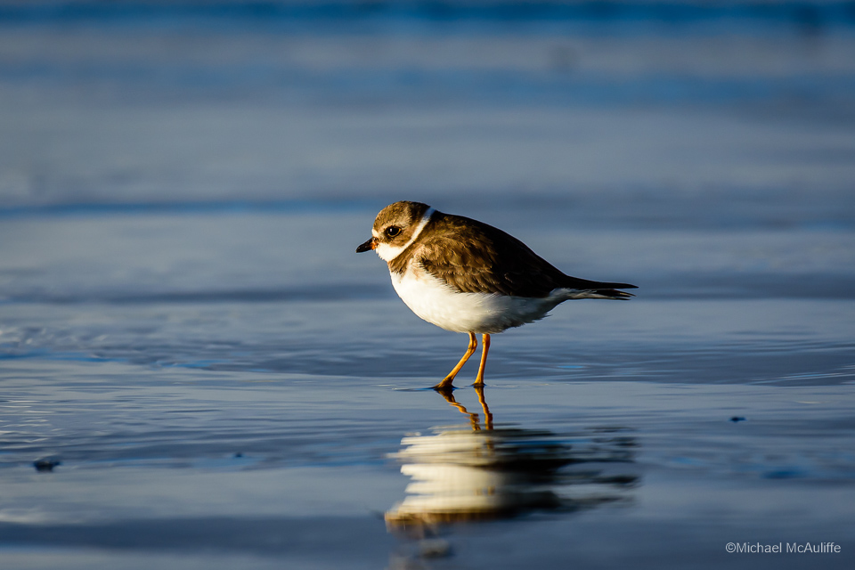 Semipalmated Plover on the beach at Long Beach, Washington.