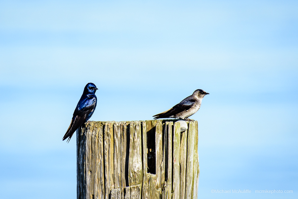 purple-martin-mcauliffe-screen-4877.jpg
