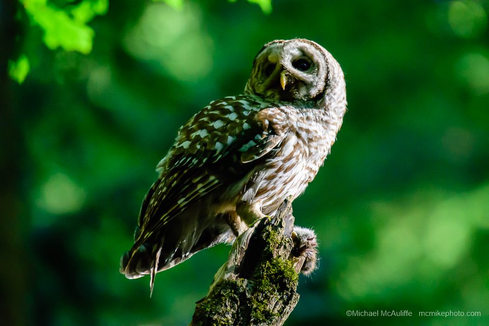 A Barred Owl at Pine Ridge Park in Edmonds, Washington.
