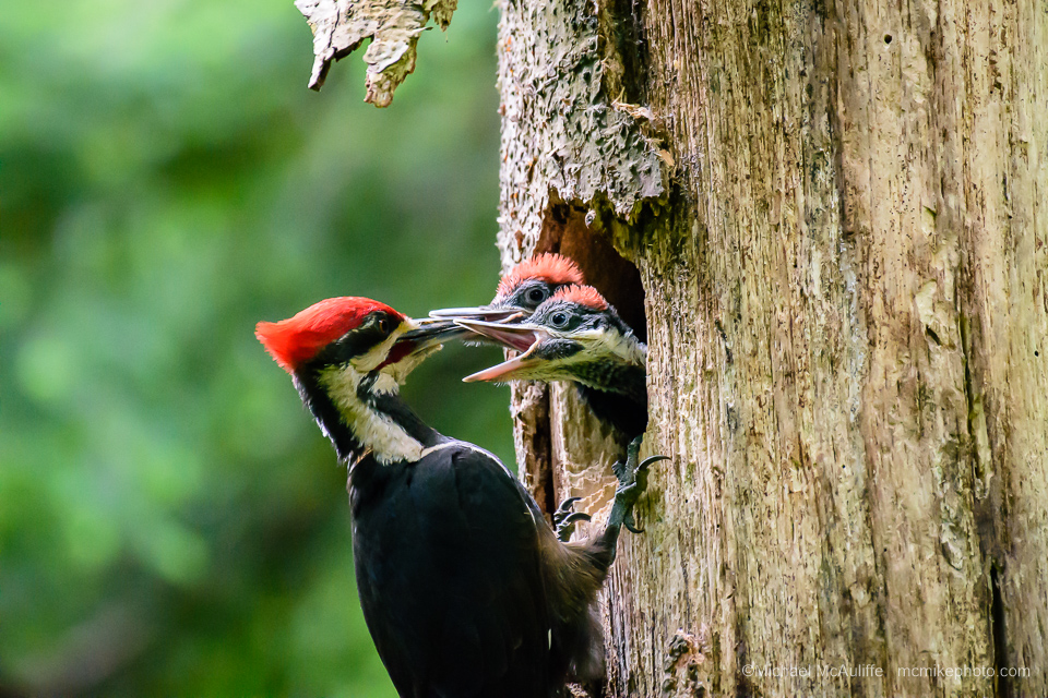 Pileated Woodpecker chicks feeding at Pine Ridge Park in Edmonds, Washington.