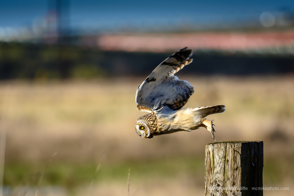 A Short-eared Owl just as it takes flight from a post.
