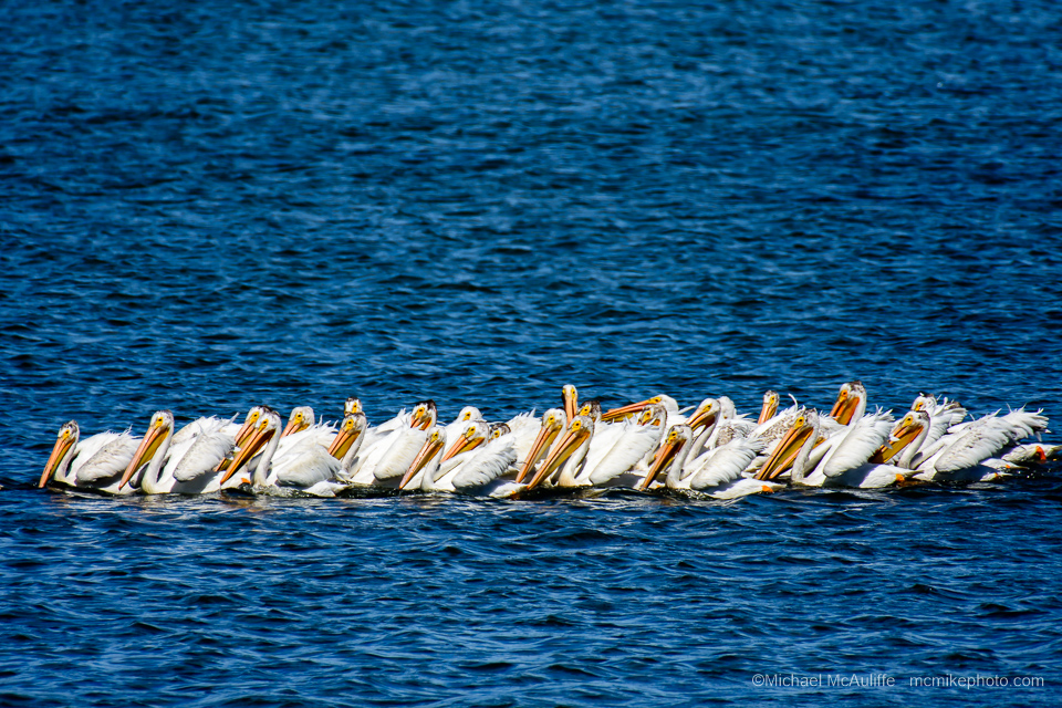 American White Pelicans in Padilla Bay near Anacortes, Washington.
