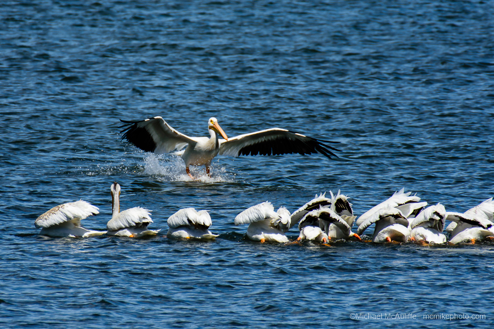 American White Pelicans at Padilla Bay near Anacortes, Washington.