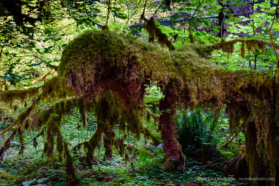 The Hoh Rain Forest in Olympic National Park.