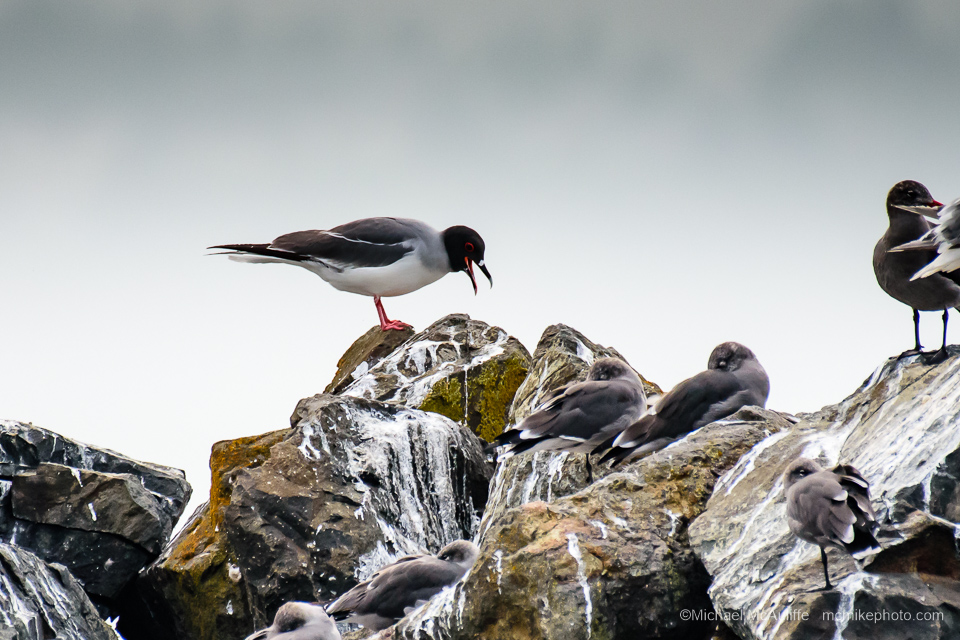 A Swallow-tailed Gull from the Galapagos Islands on the Edmonds, Washington, waterfront.
