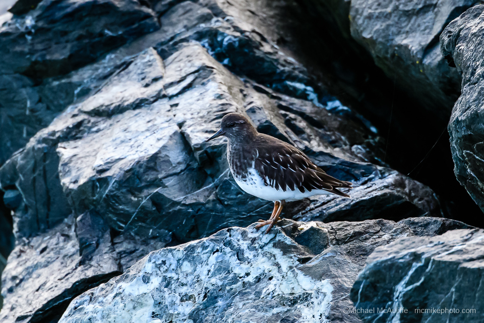 A Black Turnstone on the breakwater at the marina in Edmonds, Washington.