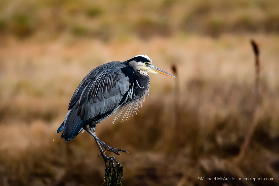 A Great Blue Heron at the marsh in Edmonds, Washington.