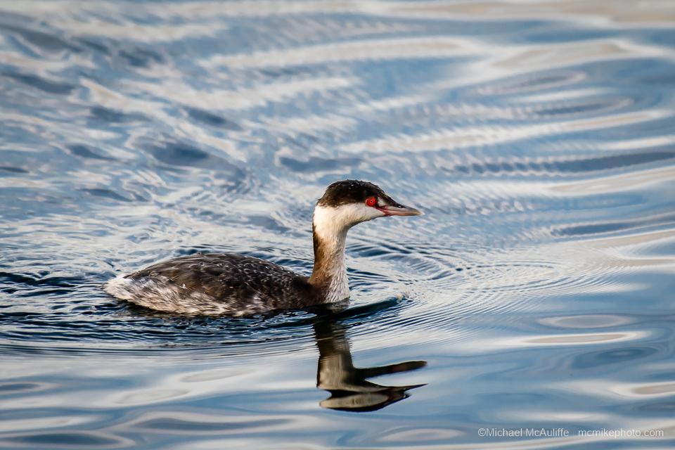 A Horned Grebe at Brackett's Landing in Edmonds, Washington.