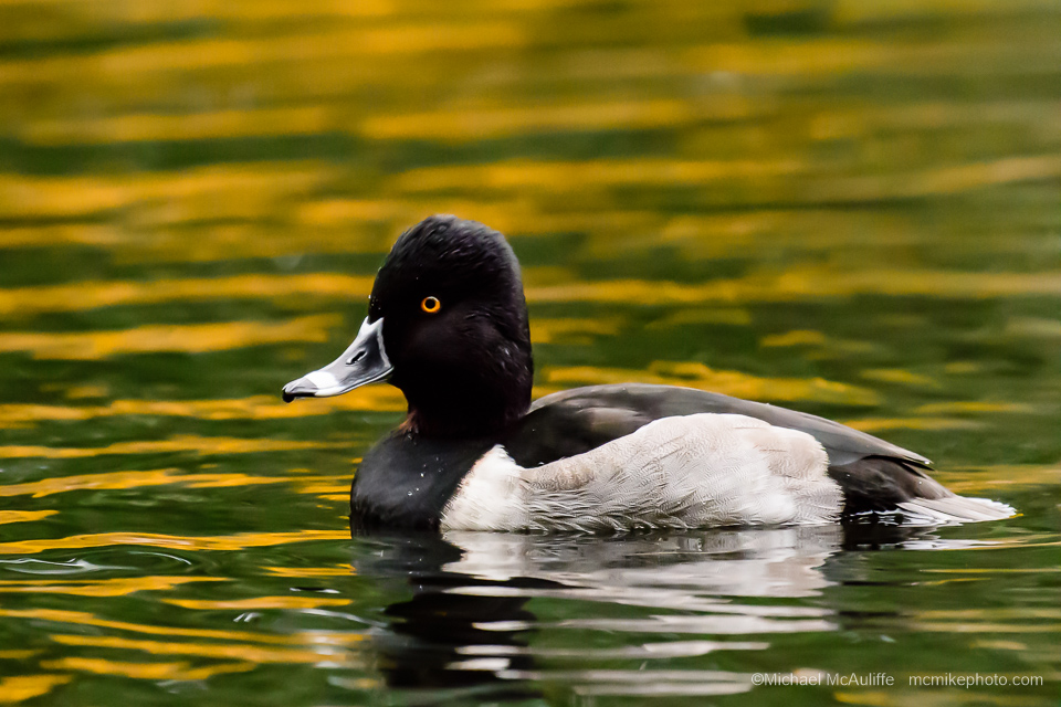 A male Ring-necked Duck at Pine Ridge Park in Edmonds, Washington.