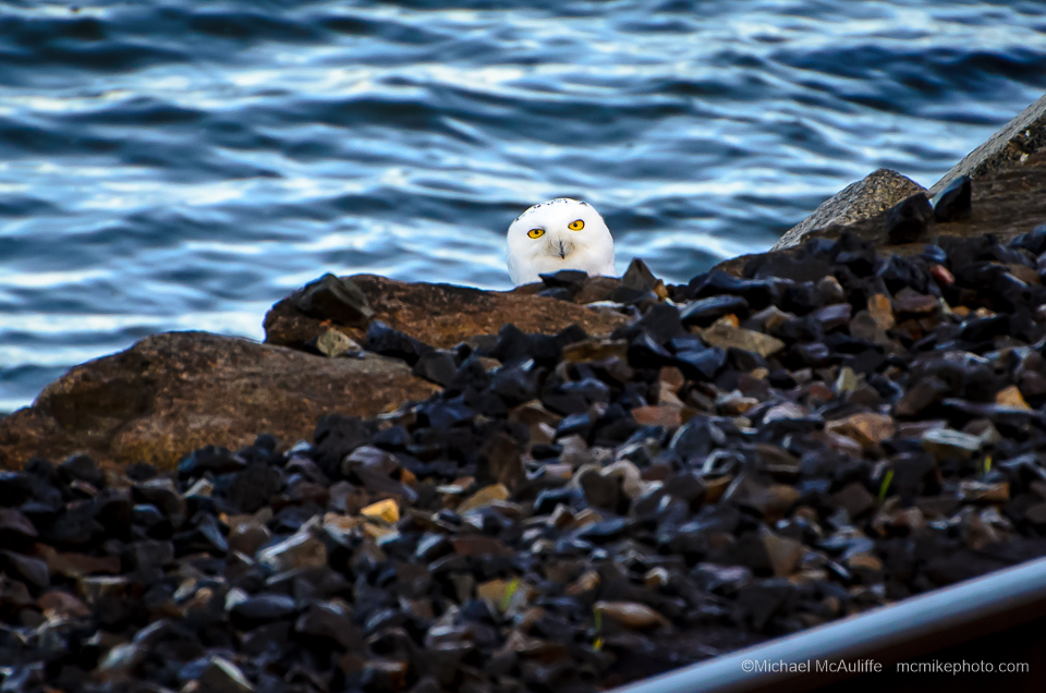A Snowy Owl on the waterfront in Edmonds, Washington.